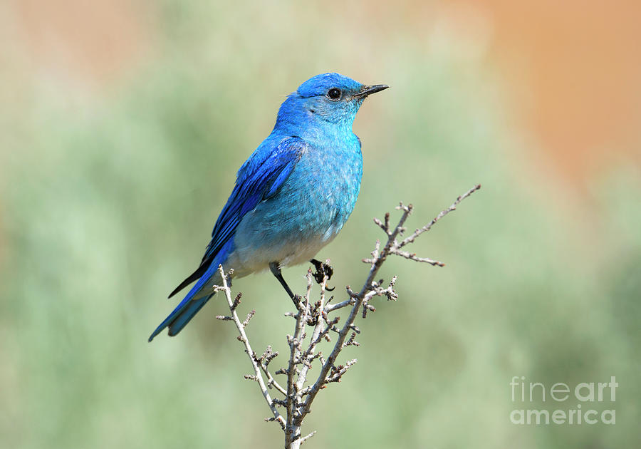 Mountain Bluebird Photograph - Mountain Bluebird Beauty by Mike Dawson