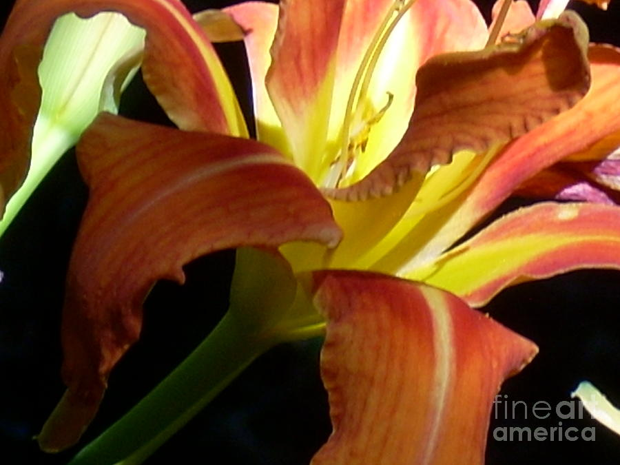 Single Flower Photograph - Mountain Day Lily by Beebe  Barksdale-Bruner