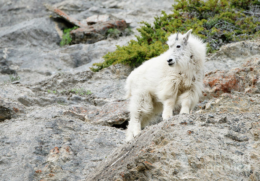 Mountain Goat 2017 by Shannon Carson