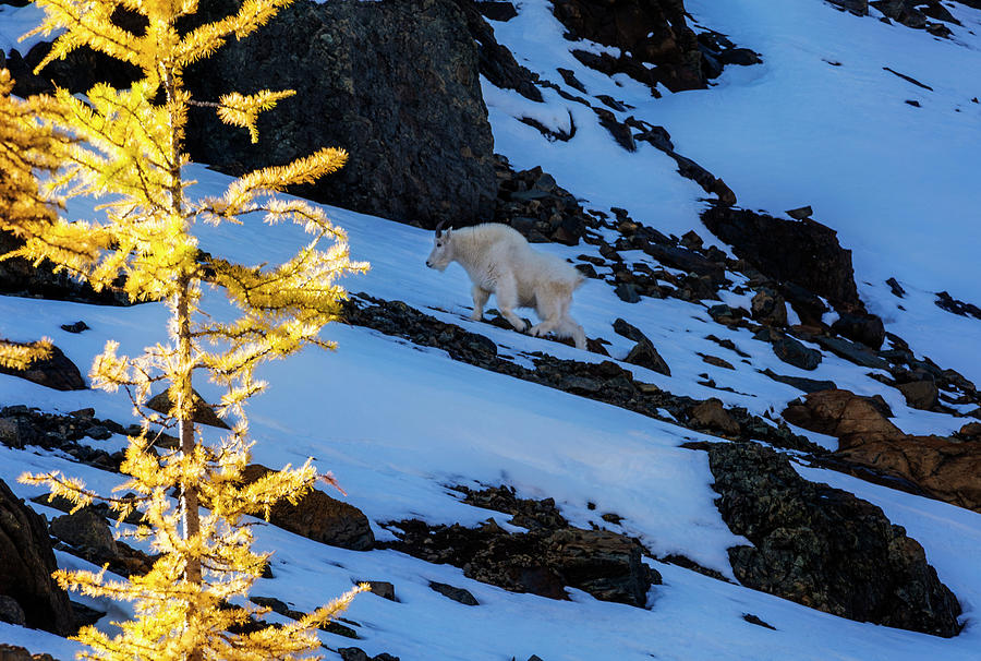 Mountain Goat And Larches Photograph by Pelo Blanco Photo
