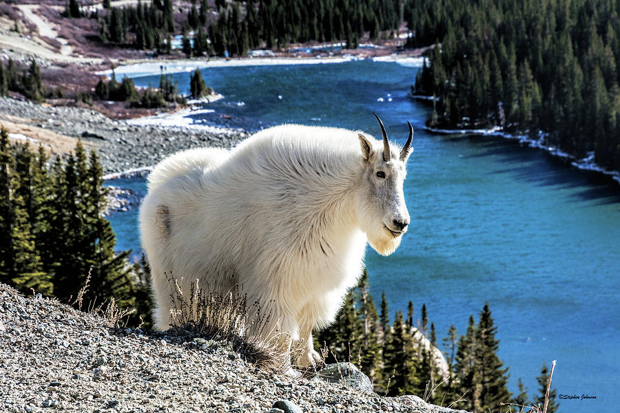 Mountain Goat at Lower Blue Lake Photograph by Stephen Johnson