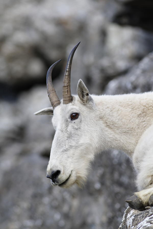 Mountain Goat Photograph - Mountain Goat At Rest by Michael Bowland