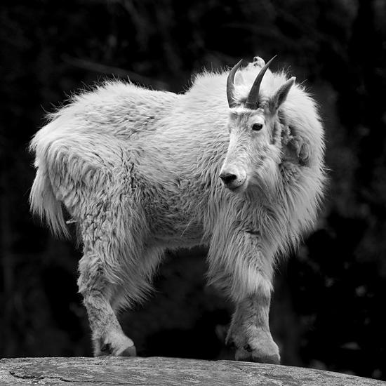 B&w Photograph - Mountain Goat by Cole Thompson