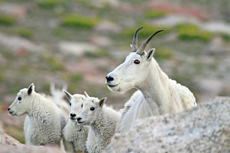 Mountain Goat Photograph - Mountain Goat Family by Scott Mahon