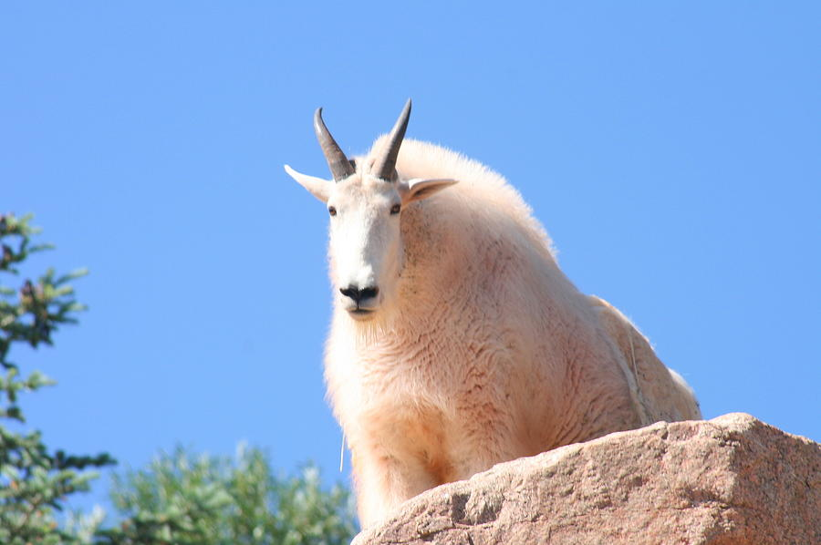 Animals Digital Art - Mountain Goat by Joe Schanzer