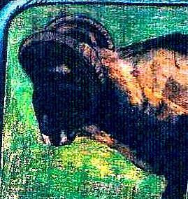 Washington Drawing - Mountain Goat by Kimberly Simon