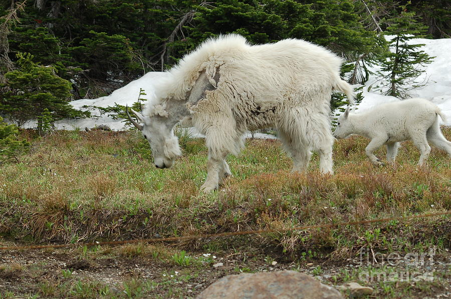 Wild Animals Photograph - Mountain Goat Mom And Baby II by D Nigon