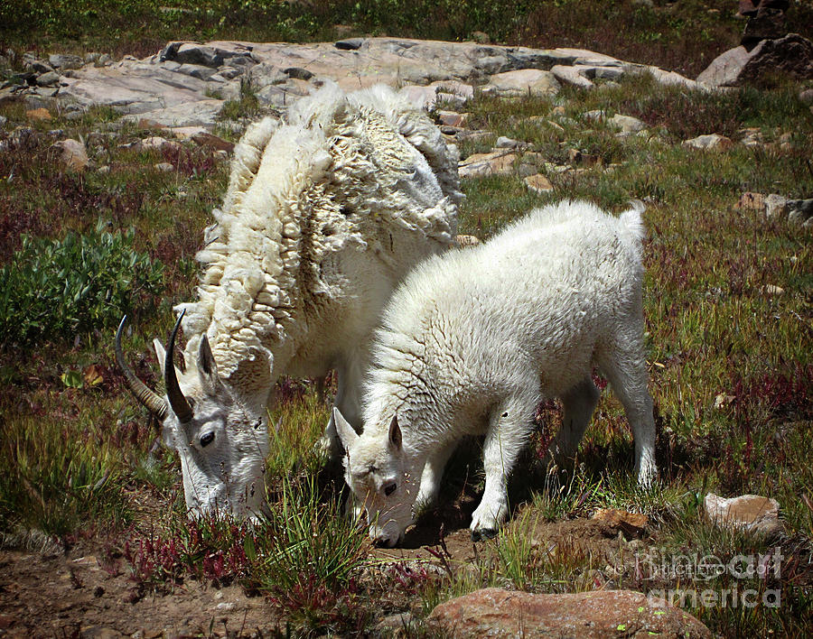 Colorado Photograph - Mountain Goat Nanny And Kid Foraging At Columbine Lake - Weminuche Wilderness - Colorado by Bruce Lemons