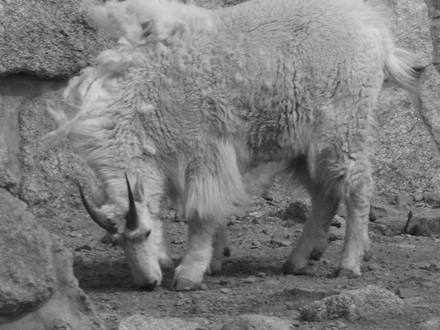 Mountain Goat Photograph - Mountain Goat by Peter  McIntosh