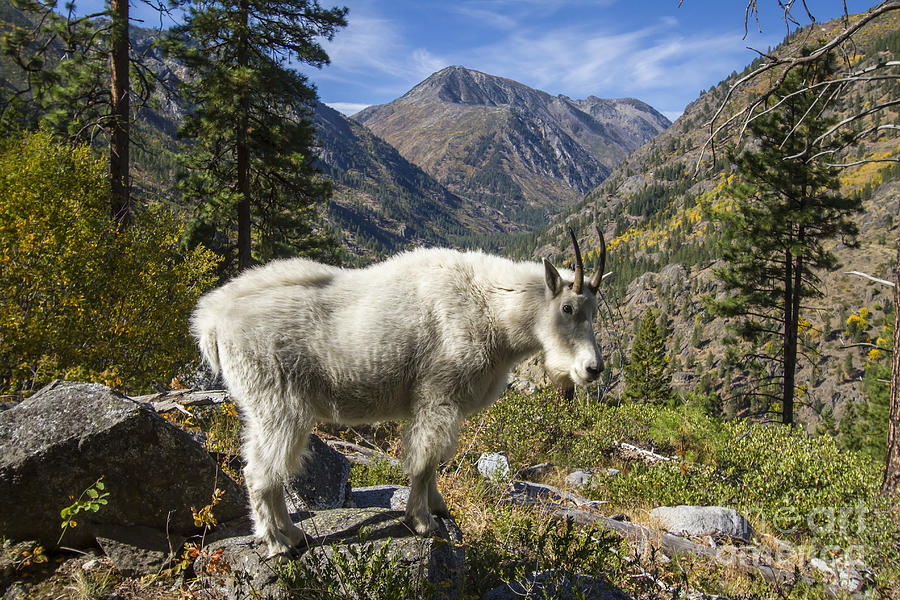 Mountain Goat Sentry by Photography by Laura Lee