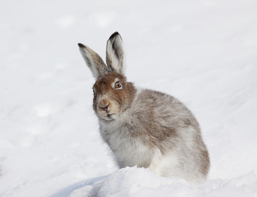 Mountain Hare in Winter by Karen Van Der Zijden