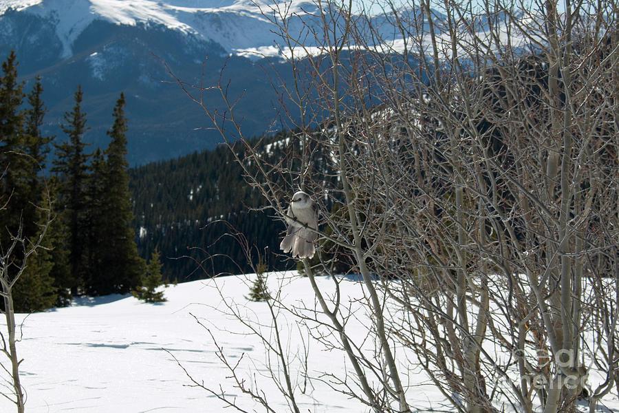 Mountain Jay On Mount Elbert Photograph