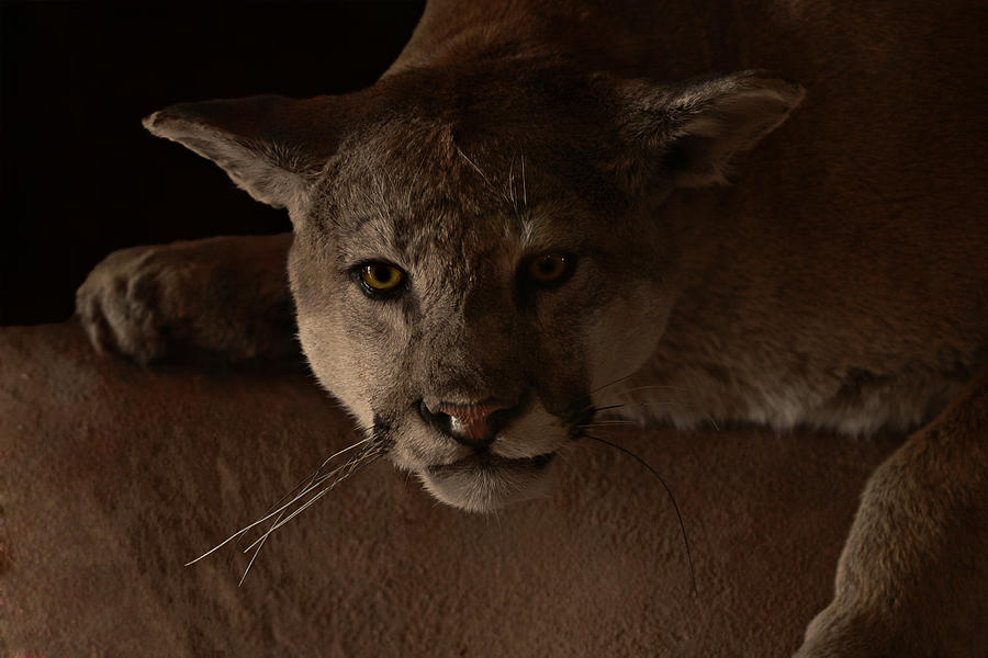 Cougar Photograph - Mountain Lion A Large Graceful Cat by Christine Till
