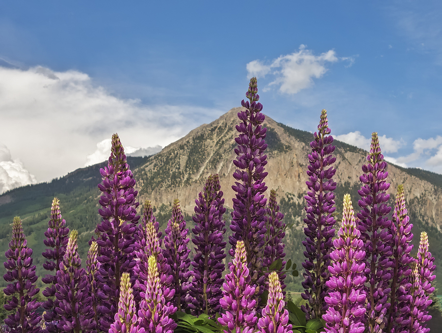 List Of Synonyms And Antonyms Of The Word Mountain Lupine