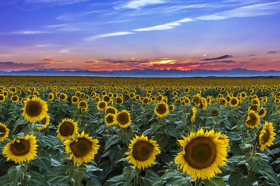 Mountain Sunset Over Sunflower Fields Photograph By Teri Virbickis