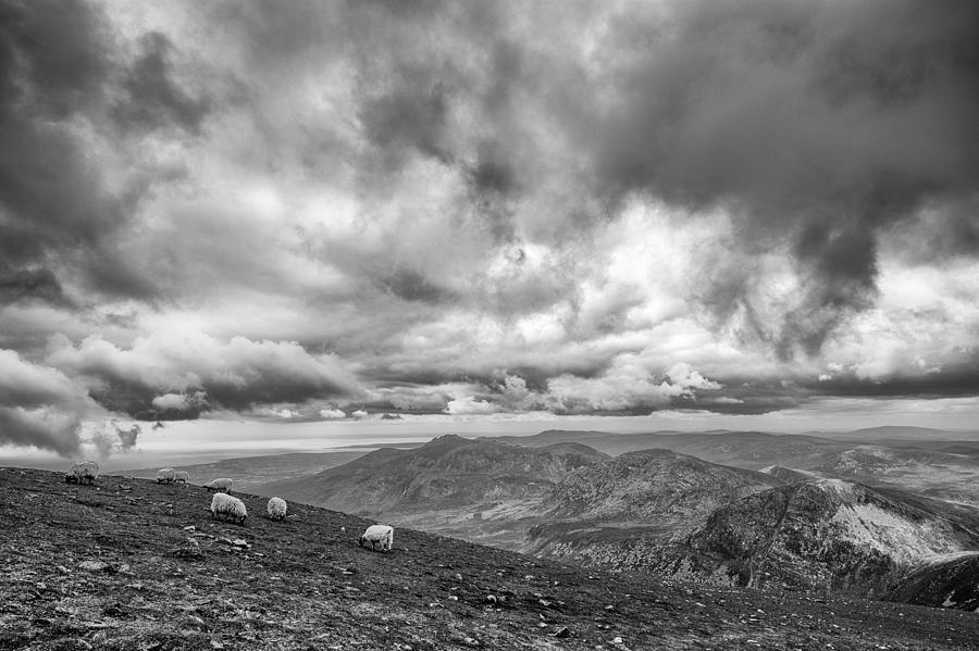 Mourne Mountain Sheep Photograph