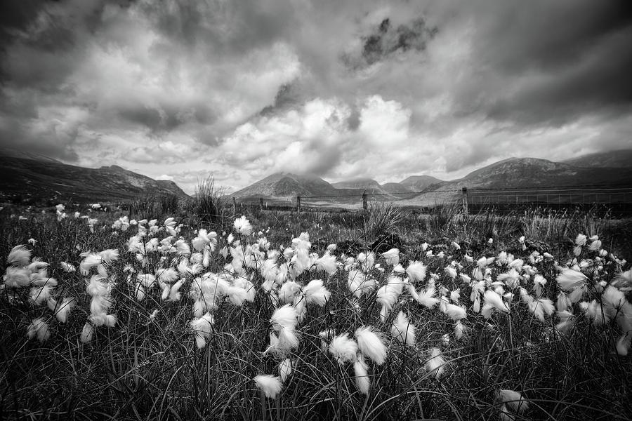 Mournes Bog Cotton Photograph