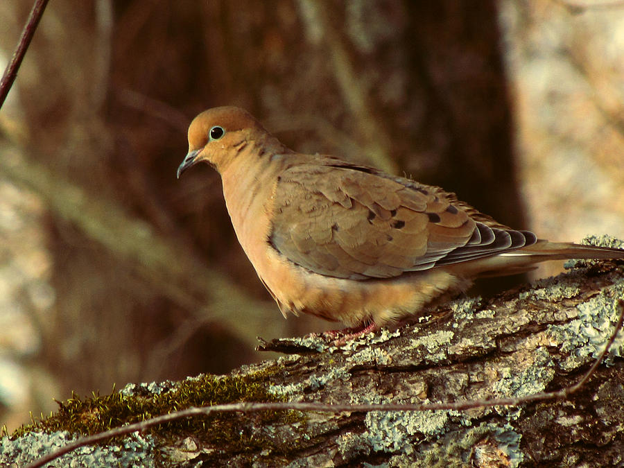 Photo Photograph - Mourning Dove At Dusk by Amy Tyler