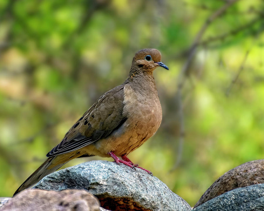 Mourning Dove H1854 Photograph