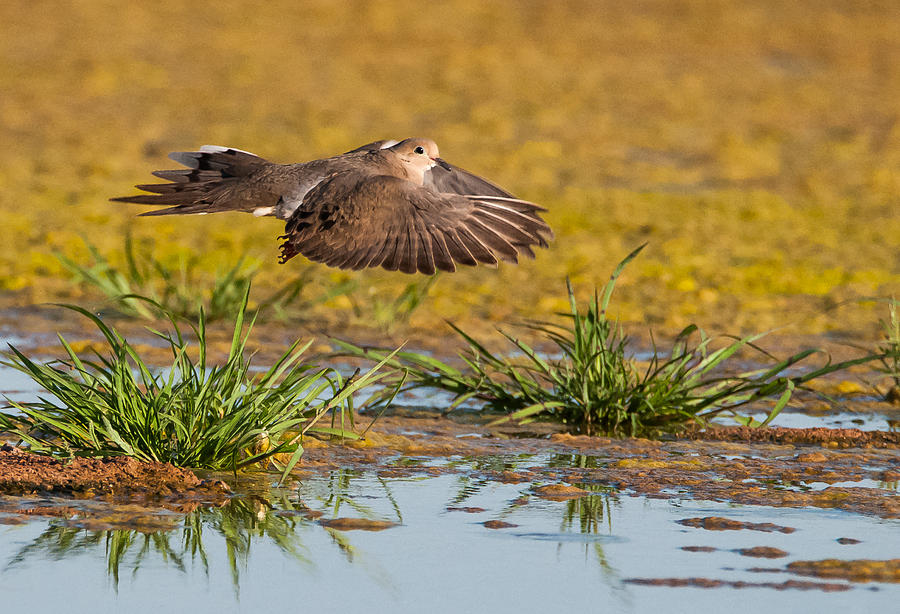 Mourning Dove Photograph - Mourning Dove In Flight by Tam Ryan