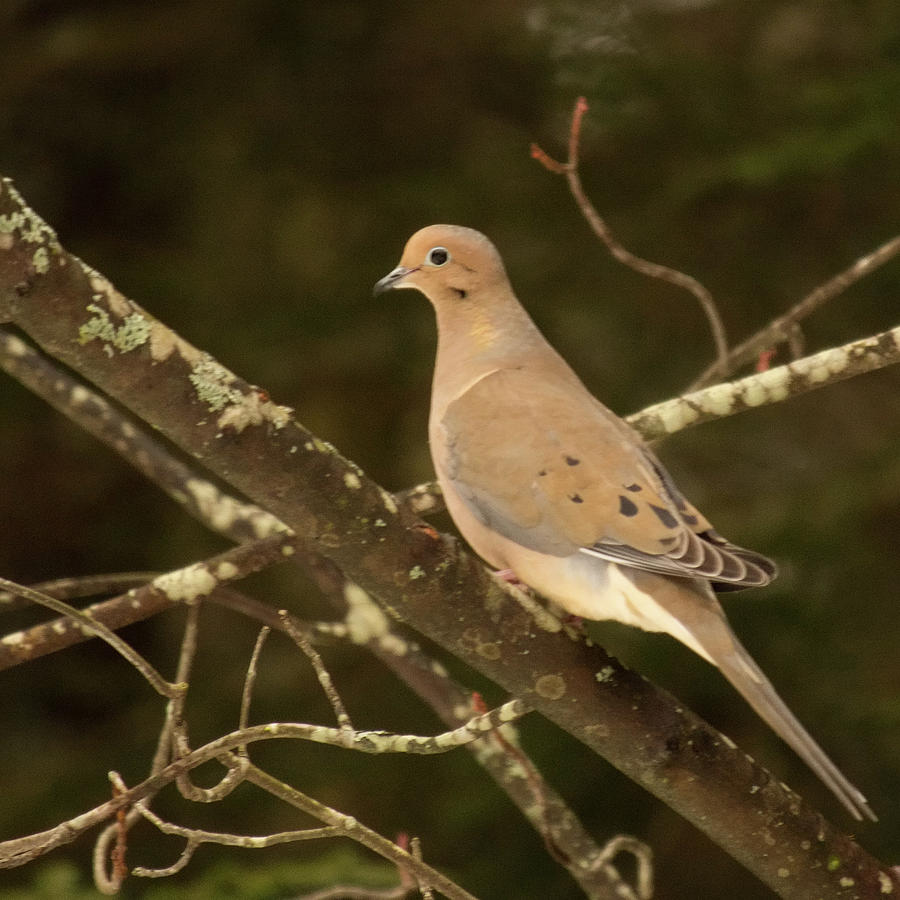 Dove Photograph - Mourning Dove by Stephen Anthony
