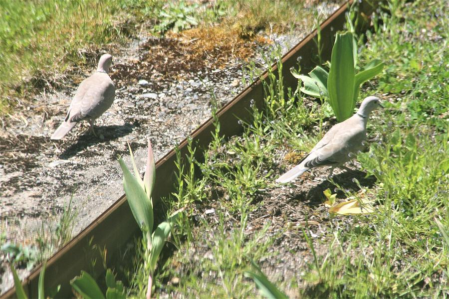 Doves Photograph - Mourning Doves by Glenn Wachtman