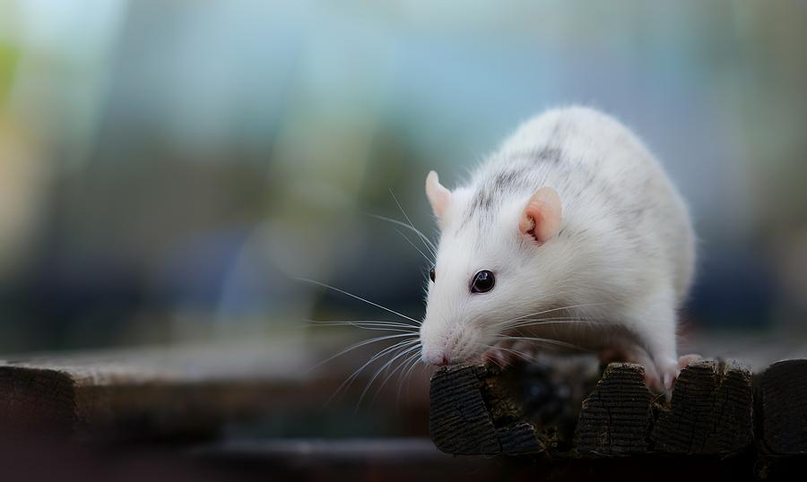 Mouse Digital Art - Mouse by Dorothy Binder