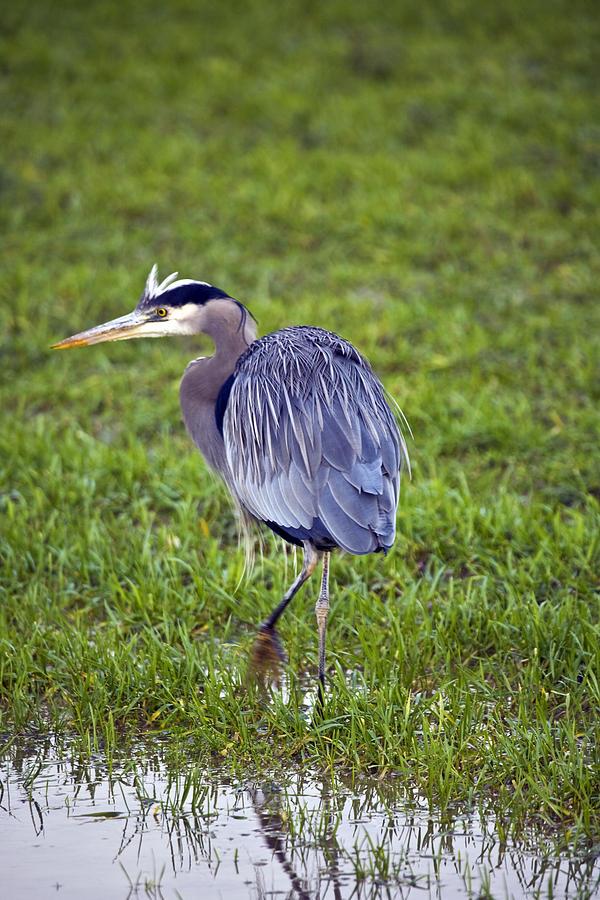 Heron Photograph - Moving by Karen Ulvestad