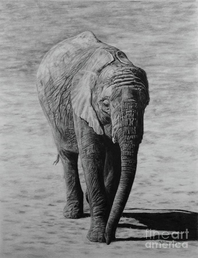 Elephant Drawing - Mpumi by Jennifer Watson