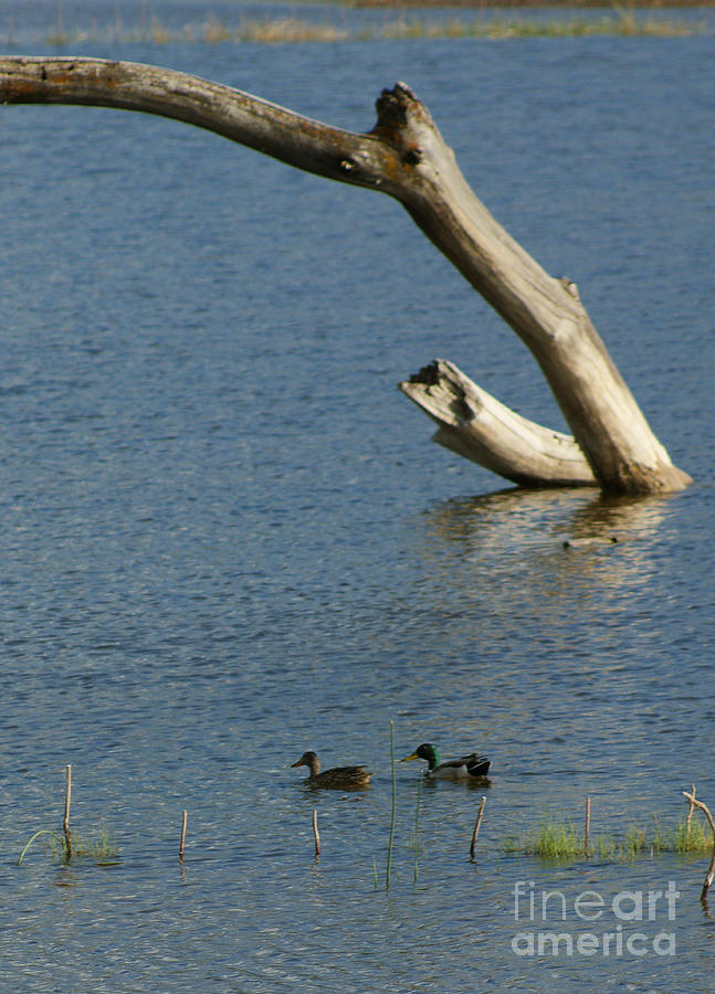 Water Photograph - Mr And Mrs Duck by Sherry Vance