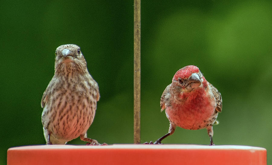Mr. and Mrs. Purple Finch by Michael Hall
