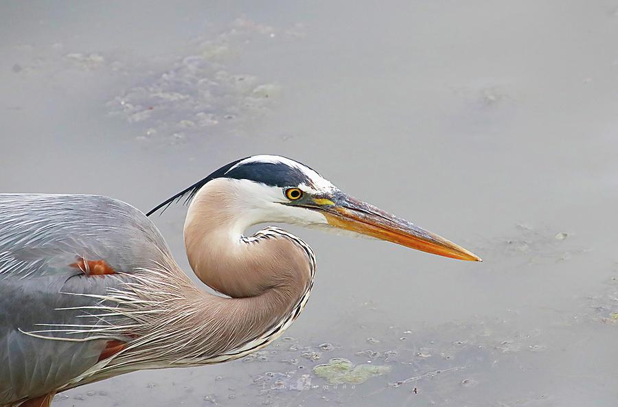 Mr. Heron Photograph by Tony Umana