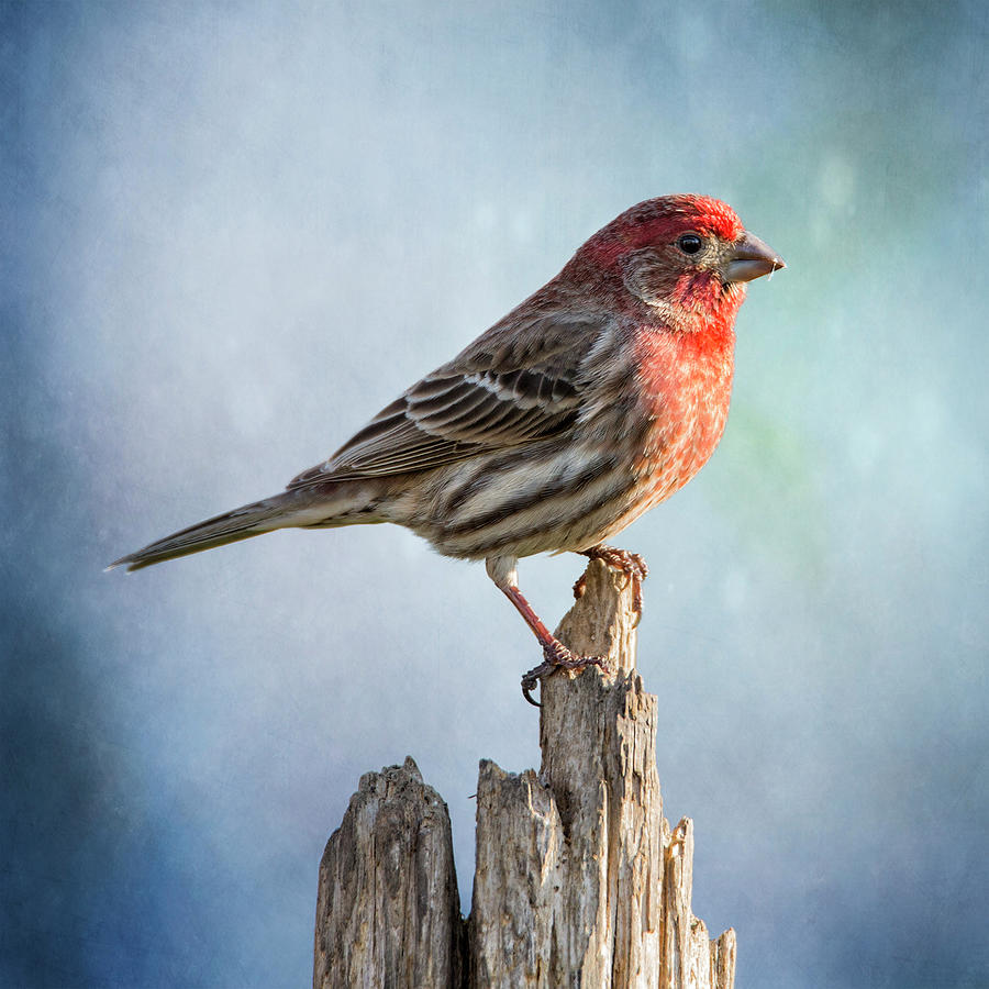 Mr House Finch Perched On Blues by Bill Tiepelman