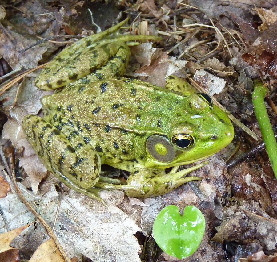 Frog Photograph - Mr. Perfectfrog by Donjoe Mitchell