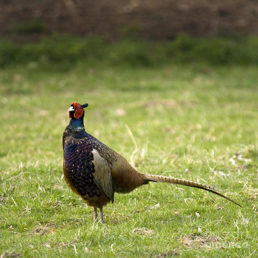 Pheasant Photograph - Mr Pheasant by Angel Ciesniarska