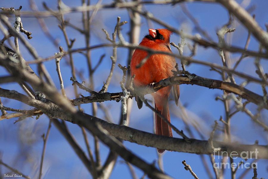 Bird Photograph - Mr. Red Beauty by Deborah Benoit