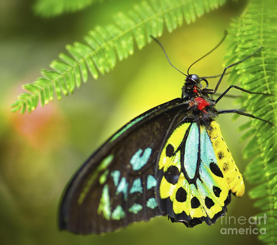 Mr. Richmond Birdwing Photograph