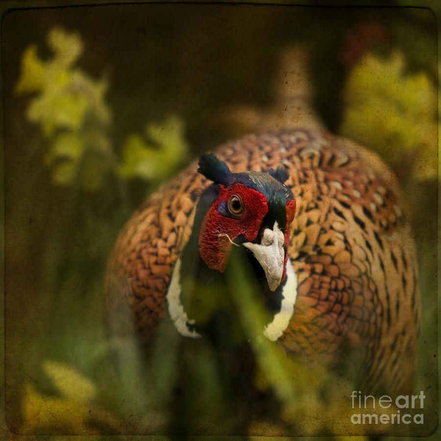 Pheasant Photograph - Mr Spring by Angel Ciesniarska