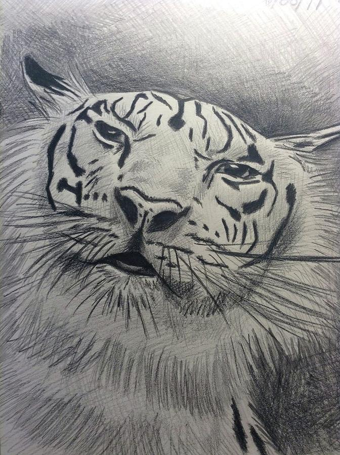 Mr Tiger Drawing by John DiMare