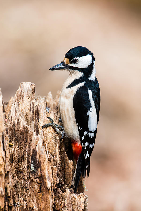 Mrs Woodpecker Photograph