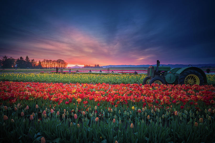 America Photograph - Mt. Hood And Tulip Field At Dawn by William Freebilly photography