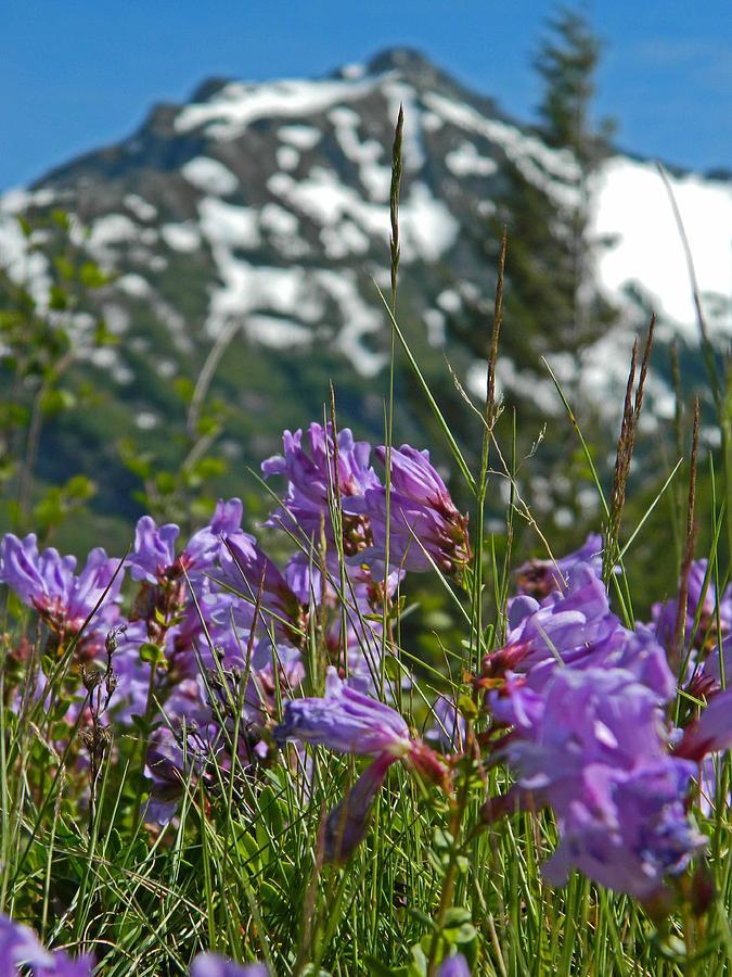 Mt. Rainier Wild Flowers Photograph by Shannon West