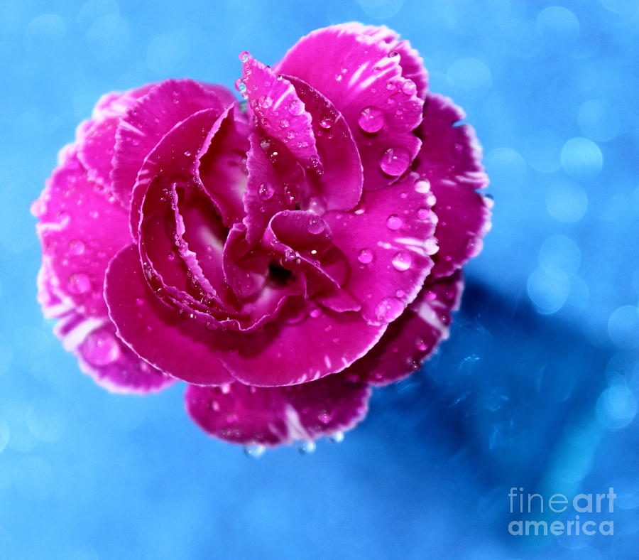 Carnation Photograph - Much Love by Krissy Katsimbras
