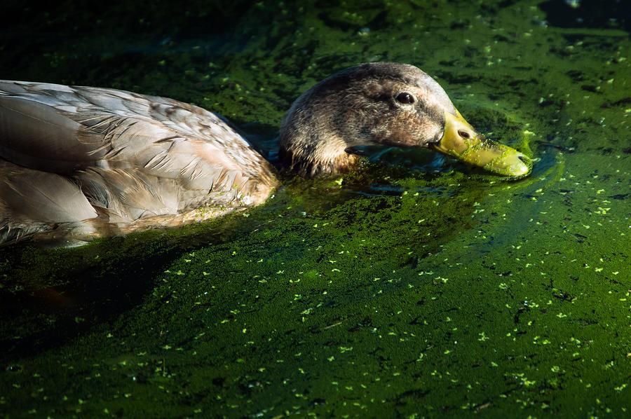 Ducks Photograph - Mucky Duck by Noun Images