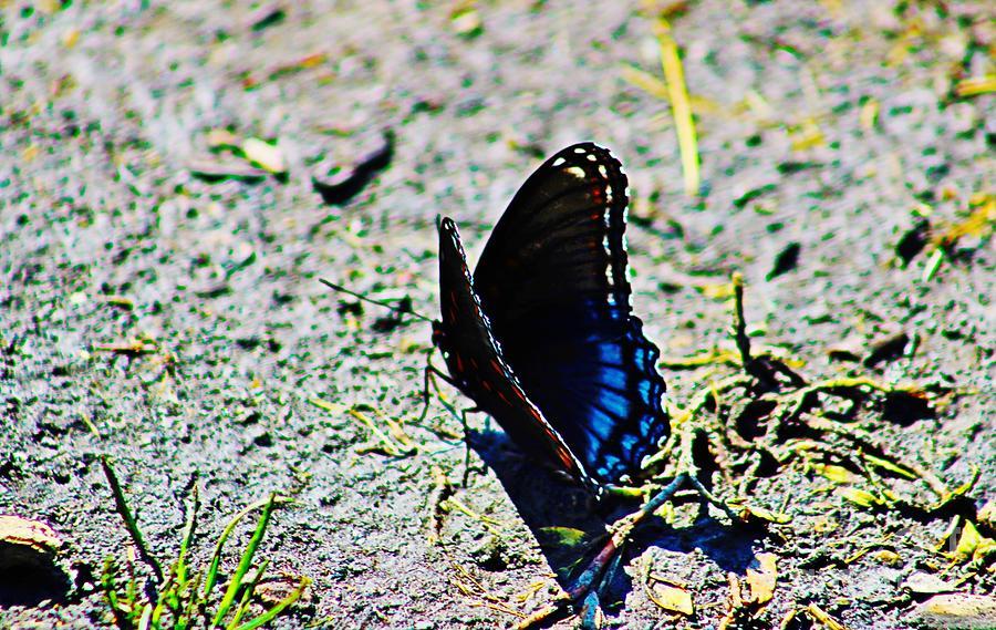 Mud Break For A Limenitis Arthemis Butterfly 1 Photograph