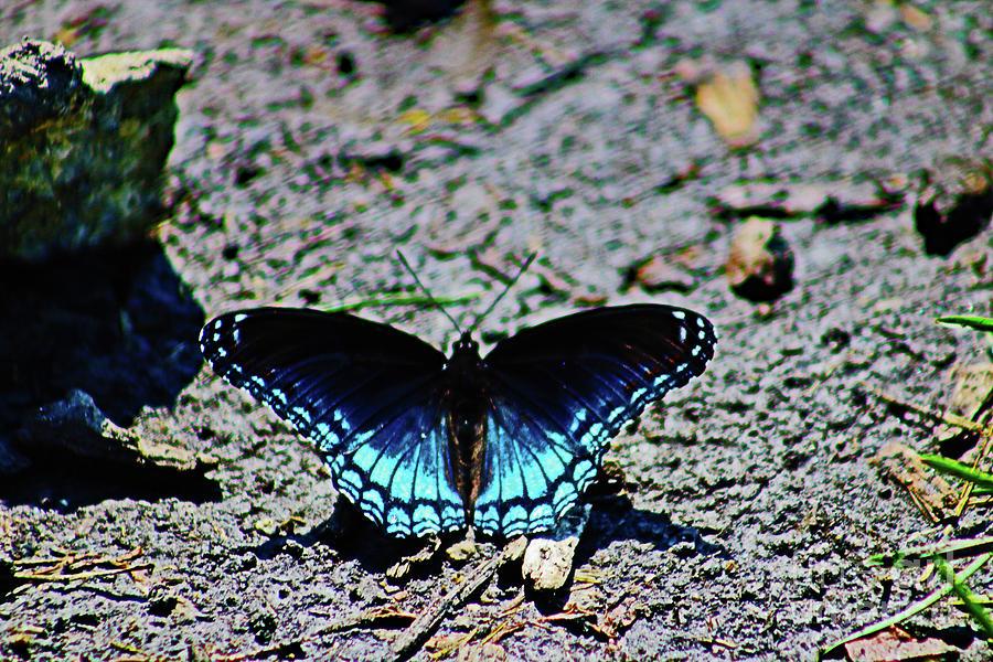 Mud Break For A Limenitis Arthemis Butterfly Photograph