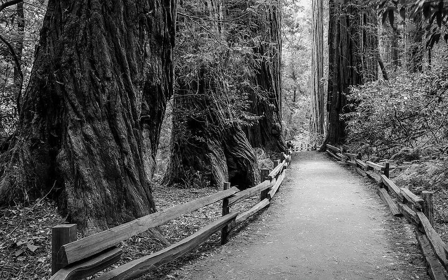 Forest Photograph - Muir Woods by Radek Hofman