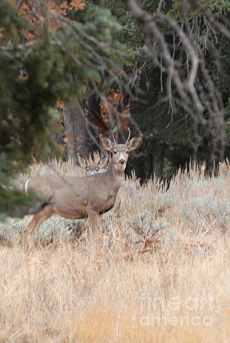 Deer Photograph - Mule Deer Buck by Dennis Hammer