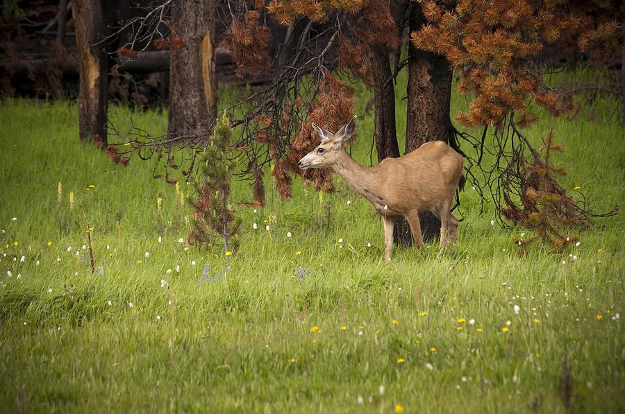 Mule Deer Photograph - Mule Deer by Chad Davis