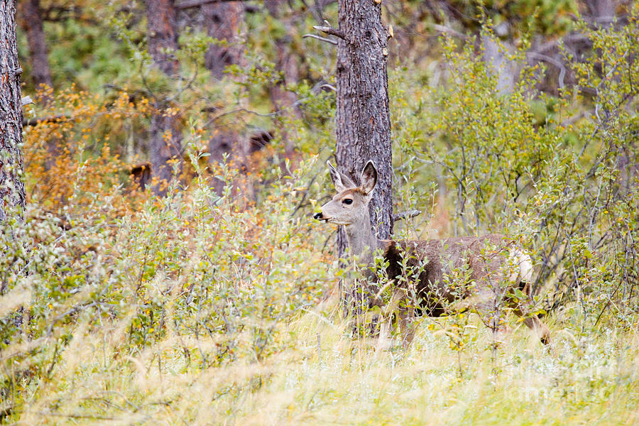 Mule Deer Doe In The Pike National Forest Photograph